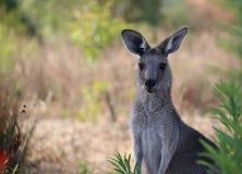 Kvinnlig känguru med känguruunge Arkivbild
