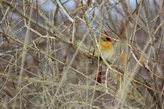 Kvinnlig kardinal Fotografering för Bildbyråer