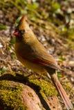 Kvinnlig kardinal Cardinalidae Arkivfoto
