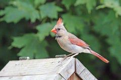 Kvinnlig kardinal på en fågelförlagematare Royaltyfri Fotografi