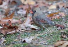 Kvinnlig kardinal på jordning med Autumn Leaves Royaltyfri Bild
