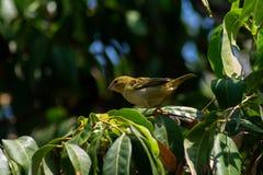 Kvinnlig kardinal på tropiskt mangoträd på en varm sommardag royaltyfri foto