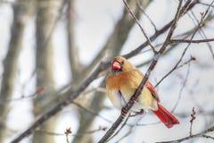 Kvinnlig kardinal Perched On Branch Arkivfoto