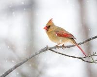 Kvinnlig kardinal In The Snow arkivbild