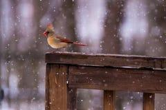 Kvinnlig kardinal In The Snow Arkivbilder