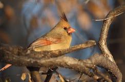 Kvinnlig kardinal under våren Royaltyfri Bild