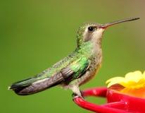 Kvinnlig kolibri Arkivbild