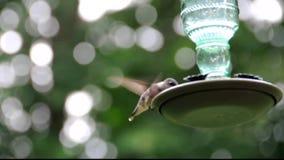 Kvinnlig kolibri stock video