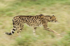 Kvinnlig konung Cheetah (Acinonyxjubatusen) Sydafrika Arkivfoton