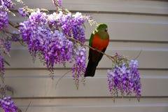 Kvinnlig konung Parrot på Wisteria royaltyfria bilder