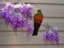 Kvinnlig konung Parrot på Wisteria arkivfoto