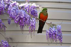 Kvinnlig konung Parrot på Wisteria arkivbild