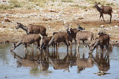 Kvinnlig kudu Royaltyfria Bilder
