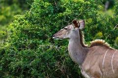 Kvinnlig kudu som stirrar på den taggiga busken Fotografering för Bildbyråer