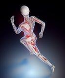 Kvinnlig löpareanatomi Arkivbild