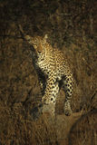 Kvinnlig leopard Arkivfoto