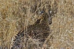 Kvinnlig leopard Royaltyfria Bilder