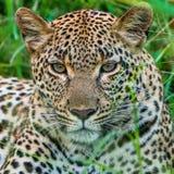Kvinnlig leopard i gräset Royaltyfria Foton