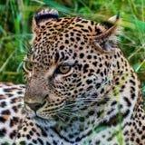 Kvinnlig leopard som ligger i gräset efter ett byte Royaltyfri Foto