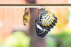 Kvinnlig leopardlacewingfjäril Arkivbilder