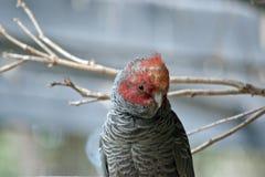 Kvinnlig liga-liga papegoja fotografering för bildbyråer