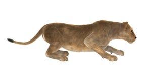 Kvinnlig Lion Arkivfoto