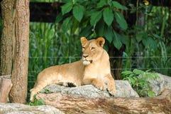 Kvinnlig Lion Royaltyfri Foto