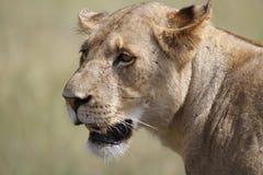 Kvinnlig Lion arkivfoton