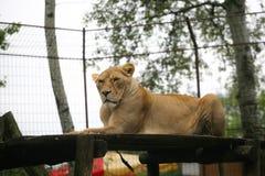 Kvinnlig Lion Royaltyfri Bild
