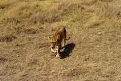 Kvinnlig Lion Stalking i Serengetien arkivfoto