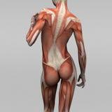 Kvinnlig människaanatomi och muskler Arkivfoto