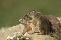 Kvinnlig murmeldjur med gröngölingen Arkivbilder