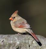 Kvinnlig nordlig kardinal Arkivbild