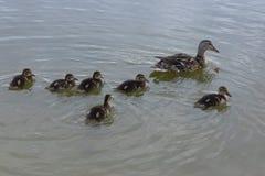 Kvinnlig- och ankungeandgräsand som tillsammans simmar på vatten royaltyfri foto