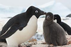 kvinnlig- och fågelungeAdelie pingvin på rede arkivfoto