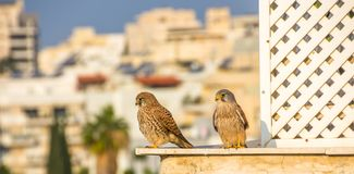 Kvinnlig och manlig gemensam tornfalkFalco tinnunculus arkivfoton