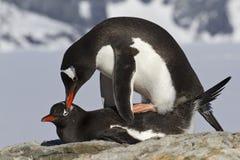Kvinnlig och manlig pingvin Gentoo under Arkivfoton