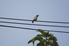 Kvinnlig Oliv-dragen tillbaka sunbird royaltyfria foton