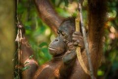 Kvinnlig Orangutan Arkivfoto
