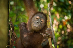 Kvinnlig Orangutan Arkivfoton