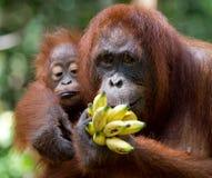 Kvinnlig orangutang med en behandla som ett barn i det löst Indonesien Ön av Kalimantan & x28; Borneo& x29; Arkivbild