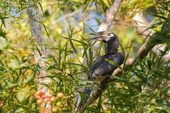 Kvinnlig orientalisk pied hornbillfågel i svart vit med lång eyel Royaltyfri Bild