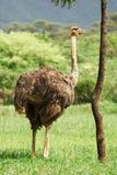 Kvinnlig ostrich Royaltyfri Foto