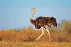 Kvinnlig ostrich Fotografering för Bildbyråer