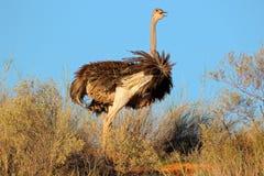 Kvinnlig ostrich Arkivbilder