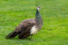 Kvinnlig påfågel Fotografering för Bildbyråer