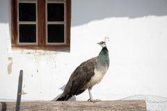 Kvinnlig påfågel Arkivbild