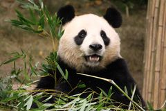 Kvinnlig panda i Everland, Korea arkivbilder