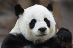 Kvinnlig panda i Thailand royaltyfri foto