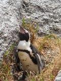 Kvinnlig pingvin på rede på stenblockstranden Royaltyfri Bild